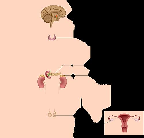 Endocrinology - Endocrine System Experts - Elmhurst, IL